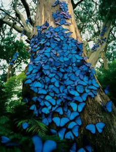 butterflies_blue